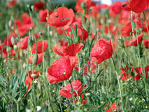 Poppy field. I love Poppy flowers and I found this field on the way home from Germany Royalty Free Stock Photography
