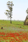 Poppy field. In israel Royalty Free Stock Photography