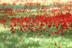 Poppy field. In israel Stock Photo