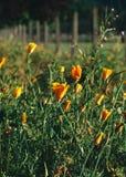 Poppy Field längs staketet royaltyfria foton