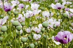 Poppy Field - la Tasmania - l'Australia Immagine Stock