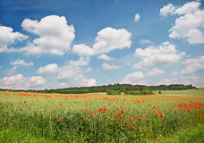 Poppy field. Landscape Stock Images