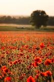 Poppy field Royalty Free Stock Image