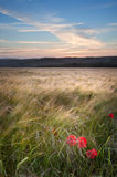 Poppy field landscape in countryside Stock Photo