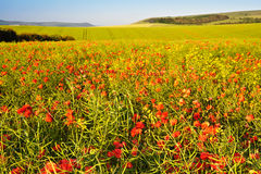 Poppy field landscape in English countrysid Stock Image