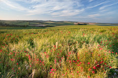Poppy field landscape in English countryside Royalty Free Stock Photography