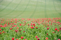 Poppy field landscape in English countryside Stock Image
