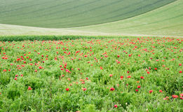 Poppy field landscape in English countryside Stock Photo