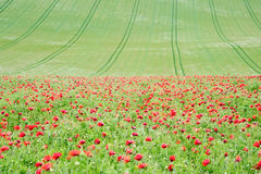 Poppy field landscape in English countryside Royalty Free Stock Photo