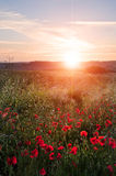 Poppy field landscape in English countryside in Summer sunset Royalty Free Stock Images