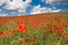 Poppy field landscape Stock Images