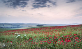 Poppy field landscape in Summer countryside sunrise Royalty Free Stock Photos