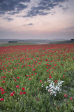 Poppy field landscape in Summer countryside sunrise Stock Photography