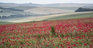 Poppy field landscape in Summer countryside sunrise Stock Photo