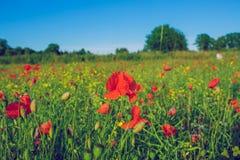 Poppy field. Royalty Free Stock Image