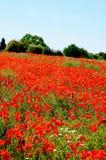 Poppy field, Lichfield, England. Stock Image