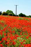 Poppy field, Lichfield, England. Royalty Free Stock Photography