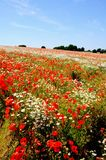 Poppy field, Lichfield, England. Royalty Free Stock Images