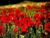 Poppy-field Stock Photo