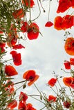 Poppy field from low angle. Low angle view from a poppy field in Tuscany looking up to the sky Royalty Free Stock Photos