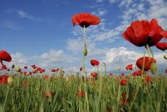 Poppy field macro Stock Image