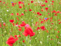 A poppy field. Many flowers on a meadow, Red poppy Royalty Free Stock Photos