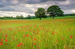 Poppy Field Meadow Fotos de Stock