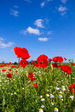Poppy Field Near Bike Way Lake Neusiedl B10 In Burgenland Austria Royalty Free Stock Images