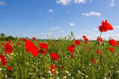 Poppy Field Near Bike Way See Neusiedl B10 in Burgenland Österreich Stockbild