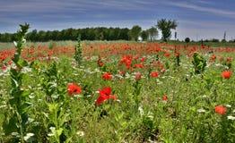 Poppy Field Near Cividale Immagini Stock