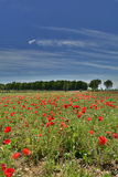 Poppy Field Near Cividale Royaltyfri Foto