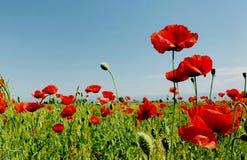 Free Poppy Field On A Bright Sunny Day Spring Season Stock Photos - 117565683