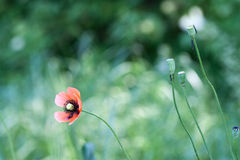 Poppy field. Poppy  with out of focus poppy field in background Royalty Free Stock Photo