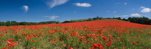 Poppy field panorama stock image
