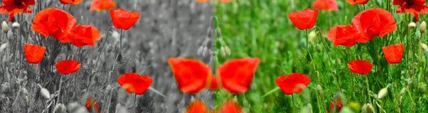 Poppy field panorama Royalty Free Stock Photo
