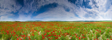Poppy field panorama Royalty Free Stock Images