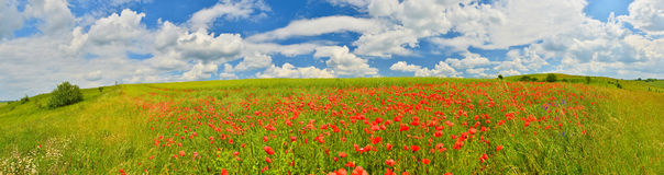 Poppy field panorama Stock Images