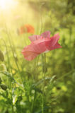 Poppy in a field Royalty Free Stock Photos