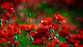 Poppy field. Poppies on a sunny day Stock Images