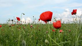 Poppy field stock video footage