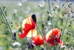 Poppy stock photography