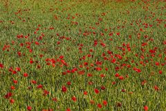 Poppy Field - Red. A colorful field of red poppies in a wheat field with space for text stock image