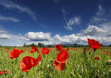 Poppy field Stock Photos