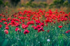 Poppy field red flower lanscape royalty free stock image
