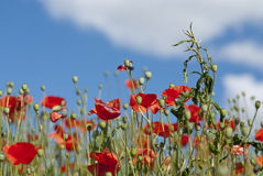 Poppy field. With red flowers and a blue sky with clouds royalty free stock photo