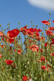 Poppy field. With red flowers and a blue sky with clouds royalty free stock photography