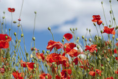 Poppy field. With red flowers and a blue sky with clouds stock images
