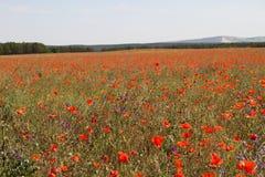 Poppy field red flowers Royalty Free Stock Photo