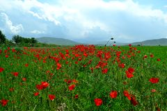 The poppy field. Red poppy flowers in spring Royalty Free Stock Photography