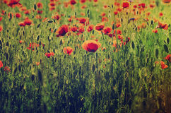 Poppy in a field Stock Images
